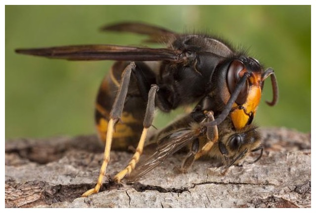 un sp cialiste du frelon asiatique conseille le pcs abeilles. Black Bedroom Furniture Sets. Home Design Ideas